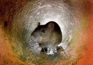 soñar con una rata