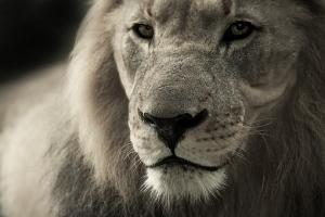 Soñar con leones, significado