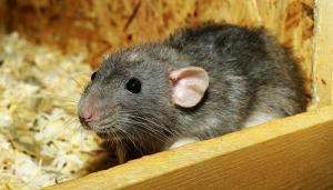 Soñar con ratas significado
